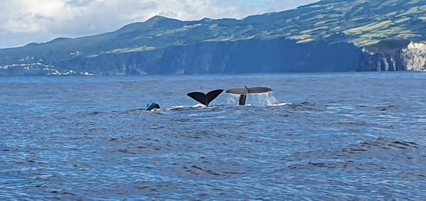 Azoren walvissen